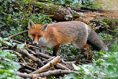 Renard roux (Vulpes vulpes) (129) (Didier Schürch) Tags: nature foret herbe animal mammifère renardroux renard vulpesvulpes wildlifeeurope wildlife ngc switzerland nikkor fox