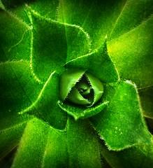 Sempervivum (sillitilly) Tags: flower nature macro sempervivum green texture