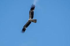 Whistling kite (crispiks) Tags: whistling kite wodonga north east victoria nikon d500 70200 f28 bird prey