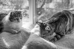The catnip inspectors. (Picture-Perfect Cats) Tags: cats pets windowsill catnip sniffing marley spyder fun cute catmoments