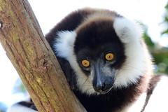 Coming down! (johco266) Tags: blackandwhiteruffedlemur vareciavariegata lemur lemuren lemuur lémuriens andasibe madagascar zoogdier mammal mammifère animals nature natuur natur naturaleza nikon alittlebeauty coth coth5 sunrays5 naturethroughthelens specanimal specanimalphotooftheday