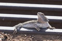 Bearded Dragon. (darrylkirby) Tags: beardeddragon reptile