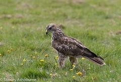 Buzzard (stanley.ashbourne) Tags: bird buzzard birdofprey oxfordshire nature wildlife stanashbourne