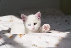 ° (°Bracket) Tags: canon london 35mm film analogue slr canonae1p 50mm maki cat animal cute hi kitten