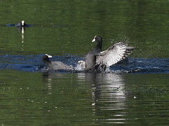 coot (simonrowlands) Tags: coot olympusem1x300mmlenswith14converter lakes ponds
