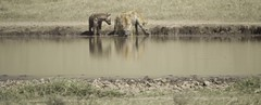 Spotted Hyenas Drinking (AndrewSingleton) Tags: safari africa ngorongorocrater animals wildlife spottedhyena hyenas relections