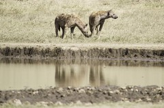 Spotted Hyenas by water (AndrewSingleton) Tags: safari africa ngorongorocrater animals wildlife spottedhyena hyena water reflection