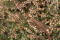 Heather basking. (ChristianMoss) Tags: viviparous lizard zootoca vivipara reptile eppingforest common outside