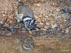 Herrerillo capuchino (Lophophanes cristatus) (6) (eb3alfmiguel) Tags: herrerillo capuchino lophophanes cristatus familia paridae