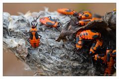 It's 1, 2, 3 and clap your feet! C'mon people get with the program! (GAPHIKER) Tags: oncopeltusfasciatus large milkweed bug largemilkweedbug seedpod pod