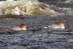 Female Goosanders on the swollen River Wharfe (robin denton) Tags: mergusmerganser goosander bird duck boltonabbey northyorkshire yorkshire wildlife nature rnbwharfe riverwharfe wharfedale waterbird