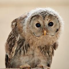 Ural Owlet (Mister Electron) Tags: nikond800 nationalbirdsofpreycentre birdsofprey owls captivity birds ornitohology yorkshire helmsley duncombepark strixuralensis owlet