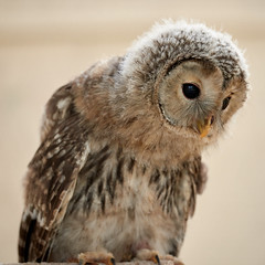 Juvenile Ural Owl (Mister Electron) Tags: nikond800 nationalbirdsofpreycentre birdsofprey owls captivity birds ornitohology yorkshire helmsley duncombepark strixuralensis owlet