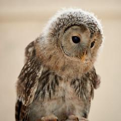 Young Ural Owl (Mister Electron) Tags: nikond800 nationalbirdsofpreycentre birdsofprey owls captivity birds ornitohology yorkshire helmsley duncombepark strixuralensis owlet