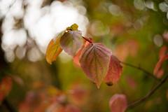 leaves (Frau Koriander) Tags: leaf leaves blatt blätter herbstlaub bunteblätter nature seasons season natur herbst autumn fall forest wald woods bokeh dof depthoffield m42 helios44m6 helios darmstadt