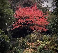 Autumn Glow (Sarah E Coulson) Tags: red tree leaves outside colour autumn
