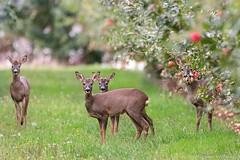 IMG_8987_LR - Copie (Morgane_W) Tags: chevreuil roedeer capreoluscapreolus nature faune sauvage wildlife canon80d tamron150600