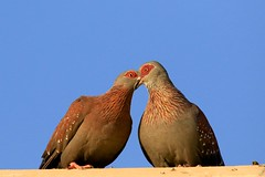love birds (peet-astn) Tags: parys freestate southafrica colour lovebirds abigfave