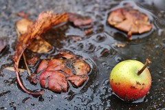 Autumn.... (markwilkins64) Tags: apple autumn rainwater water leaf red green decay decaying markwilkins bokeh road gutter stilllife bubbles squashed crushed