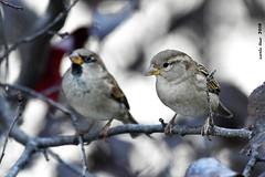 Pardals (Enllasez - Enric LLaó) Tags: aves aus bird birds ocells pájaros pardal gorrión 2019 cerveradelmaestre cerveradelmaestrat cervera