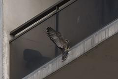 (The Transit Photographer) Tags: birds raptors falcons peregrinefalcons wildperegrinefalcons fredandwilma thehappycouple juvenile fledglings playtime
