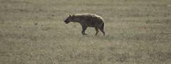 Spotted Hyena on the move (AndrewSingleton) Tags: safari africa ngorongorocrater animals wildlife spottedhyena hyena