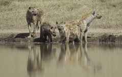 Group of Spotted Hyenas (AndrewSingleton) Tags: safari africa ngorongorocrater animals wildlife spottedhyena hyenas relections