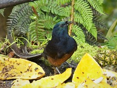 Ribbon-tailed Astrapia female. (Astrapia mayeri) (gailhampshire) Tags: ribbontailed astrapia female mayeri taxonomy:binomial=astrapiamayeri papua new guinea