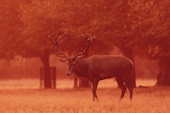Rutting red deer stag at Bushy Park (ejwwest) Tags: