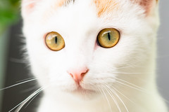 Pitô (PaaulDvD) Tags: chat cat animal pet colors eye oeil