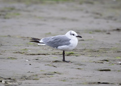 Laughing Gull (Tony CC Gray) Tags: tonygray canon novascotia laughinggull
