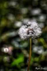 Dandelion in October (liviamajor) Tags: flower macro autumn morning