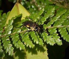 Wasp- Pompilidae (gailhampshire) Tags: pompilidae papua new guinea