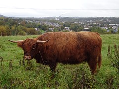 Highland Cow, Hodge's Terrace, St Dial's Road, Greenmeadow, Cwmbran 13 October 2019 (Cold War Warrior) Tags: highland cow cattle cwmbran