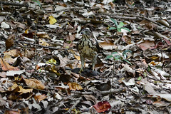 Crested Goshawk with a Rat (Bob Hawley) Tags: asia taiwan kaohsiung nikond7100 nikon28105mmf3545afd nature birds raptors crestedgoshawk accipitertrivirgatus hunting predation prey rats dead metropolitanpark wildlife animals