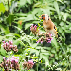 Goldfinches on the Verbena (mickmassie) Tags: gardentq209783