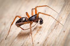 Neriene clathrata (m) (mickmassie) Tags: arachnida gunnersburypark linyphiidae neriene spider