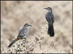 Crissal Thrashers (Ed Sivon) Tags: america canon nature lasvegas wildlife western wild southwest desert clarkcounty vegas flickr bird henderson nevada preserve