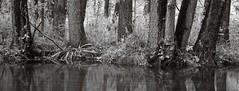 By the river (Geir Bakken) Tags: mamiya mamiyarb67 mediumformat 135 135film panorama panoramic rolleirpx rolleirpx25 rollei river water longexposure forest nature blackandwhite bw film filmisnotdead filmphotography filmcamera filmisalive analogphotography analog fomadonp