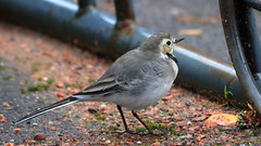 Another White Wagtail (G3nie) Tags: canoneos1100d ef70300mmf456isusm aspectratio169 finland white wagtail bird nature animal metal ground park wildlife wild life autumn fall sand