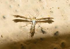 plume moth (praveen.ap) Tags: plumemoth moth tindivanam