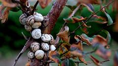 Snails in the tree (dl1ydn) Tags: dl1ydn mediterraneansea mittelmeer holliday manuell manualfocus nature natur animal snails schnecken tiere turkey türkei urlaub canonfd 3570mmf4