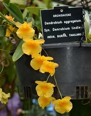 Dendrobium lindleyi, Flecker Botanic Garden, Cairns, QLD, 07/10/19 (Russell Cumming) Tags: plant dendrobium dendrobiumlindleyi orchidaceae fleckerbotanicgarden cairnsbotanicgarden cairns queensland