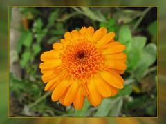 Under grey sky (TonyFernando) Tags: marigold flower macro garden outdoors nature