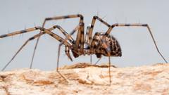 Megalepthyphantes sp. nova (f)  near collinus (mickmassie) Tags: arachnida gunnersburypark linyphiidae spider