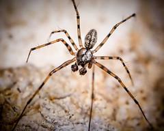 Megalepthyphantes sp (m) (mickmassie) Tags: arachnida gardentq209783 linyphiidae spider