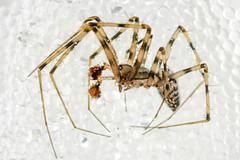 Megalepthyphantes sp. nova (m) ? near collinus (mickmassie) Tags: arachnida gardentq209783 linyphiidae spider