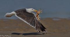 Black-backed Gull with Crab (NorthShoreTina) Tags: gull bird blackbackedgull