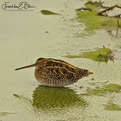 When you Take a Nap and the Water is Freezing Around You... (franklin331) Tags: algae bird blissdinosaurranch blissphotographics freezingaroundyou freezingwater lake longbill napping sciencesunday shore sleeping sleepingbird slushy snipe sonyalpha water