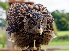 Do you want fries with that? (S.K.1963) Tags: eagle owl warwick castle bird prey bokeh olympus omd em1 mkii 40150mm 28 england